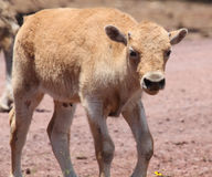 Young White Bison Standing. Young White Bison Walking with horn nubs Royalty Free Stock Photo