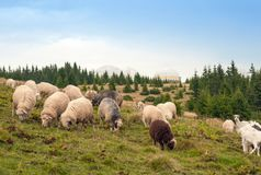 Herd of sheep graze on green pasture in the mountains. Royalty Free Stock Image