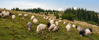 Panorama of landscape with herd of sheep graze on green pasture in the mountains. royalty free stock photo