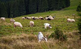 Panorama of landscape with herd of sheep graze on green pasture in the mountains. royalty free stock photos