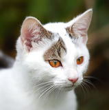 Young white cat Stock Photography