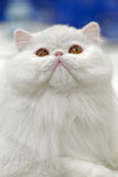 Young white cat. Animals: young white cat close-up portrait, blue background Stock Images