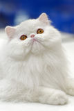 Young white cat. Animals: young white cat close-up portrait, blue background Stock Image