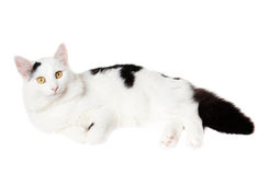 Young white cat with black spots. Lies isolated on white background Royalty Free Stock Photo