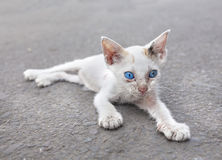 Young white cat with blue eyes on the street Stock Image