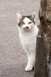 Young white cat hiding behind a wall Stock Photography