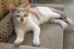 A young white cat lying on its cushion scratcher and looking curiously towards camera Royalty Free Stock Images