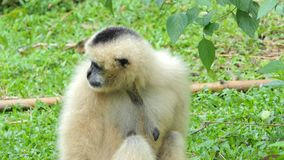 Young white cheeked gibbon in topical rain forest. stock video