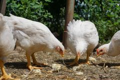 Domestic white chickens eating on the ground in the yard. Young white chickens eating on the ground in the yard royalty free stock photos