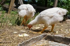 Domestic white chickens eating on the ground in the yard. Young white chickens eating on the ground in the yard royalty free stock photo