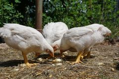 Domestic white chickens eating on the ground in the yard. Young white chickens eating on the ground in the yard stock image