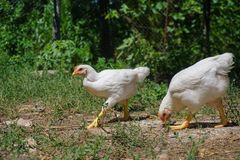 Young white chickens eating on the ground. In the yard royalty free stock images