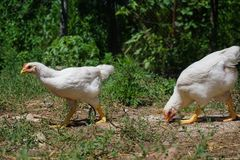 Young white chickens eating on the ground. In the yard royalty free stock photography