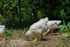 Young white chickens eating on the ground. In the yard royalty free stock image
