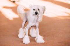 Young White Chinese Crested Dog. Hairless breed of dog Stock Photos