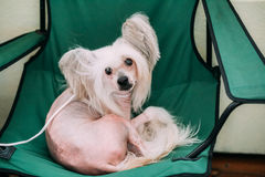 Young White Chinese Crested Dog. Hairless breed of dog Stock Photography