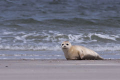 Young white common seal Stock Photos