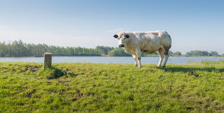 Young white cow on a Dutch dike next to th river Stock Photo