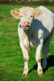 Young white cow licking it's nose Stock Images