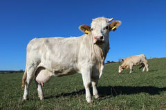 young white cows on green meadow Royalty Free Stock Photography
