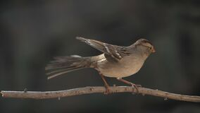 Young White Crowned Sparrow Lands on Branch Slow Motion