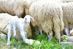 A young white cute baby sheep. Against adult sheeps. She stands and looks at me in the hot summer sun royalty free stock images