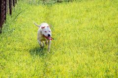 Young white dog breed pitbull running through green grass. Walk. Dogs stock photo