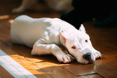 Young White Dogo Argentino Dog laying On Wooden Stock Photos