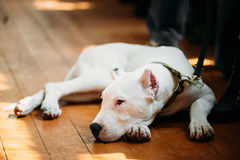 Young White Dogo Argentino Dog laying On Wooden Floor Stock Photography