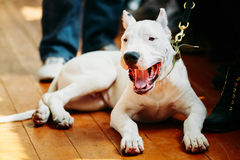 Young White Dogo Argentino Dog laying On Wooden. White puppy dog of Dogo Argentino also known as the Argentine Mastiff is a large, white, muscular dog that was royalty free stock photo