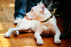 Young White Dogo Argentino Dog laying On Wooden Stock Images