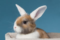 Young white-eared mini-lop rabbit  in the studio Stock Images
