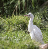Young White Egret Royalty Free Stock Images
