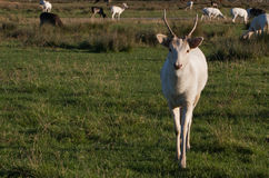 Young White Elk Buck Royalty Free Stock Images