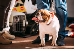Young White English Bulldog Dog Stock Photo
