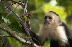 A Young White-faced Capuchin Monkey, Ometepe, Nicaragua Stock Photos