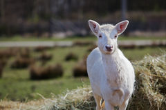 Young white fallow deer Royalty Free Stock Photo