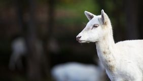 Young White Fallow Deer Head Stock Images
