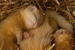 Young white ferrets in a nest. Young white ferrets resting in a nest royalty free stock image