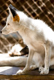 Young white fox  in zoo Stock Photo