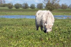 Young white Galloway cattle grazes in a nature reserve. Young white Galloway cattle grazes in a Dutch nature reserve on a sunny day in the spring season Royalty Free Stock Photography