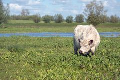 Young white Galloway cattle in a nature reserve. Young white Galloway cattle in a Dutch nature reserve looks curiously at the photographer on a sunny day in the Royalty Free Stock Photography