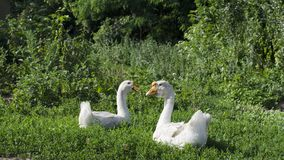 Couple of white geese in a meadow Stock Photo