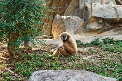 A Young White Gibbon stock photography