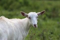 Young white goat eating grass in summer meadow Stock Photos
