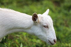 Young white goat eating grass in summer meadow Royalty Free Stock Photos