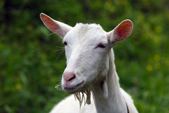 Young white goat with flowers in mouth Stock Photography