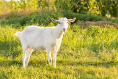 Young white goat grazing at the meadow Stock Photography