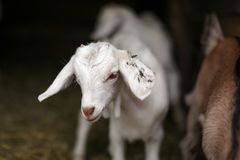 Young white goat kid, blurred barn stable in background. Detail on head.  stock images