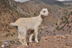 Young white goat Stock Photos